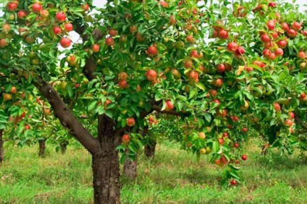 aroma äppelträd höjd